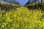 Napa Mustard fields in California.