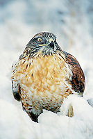 541800004 a wild wildlife rescue ferruginous hawk buteo regalis poses in a snow bank in central colorado united states