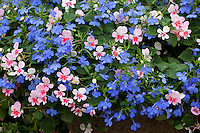 'Shady Lady' container flower mix with lobelia and diascia