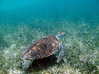 Green Sea Turtle in the seagrass at Brown Bay.St. John.U.S. Virgin Islands