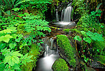 Lush groundcover and creek along the east fork of the Quinault River, Quinalt Rain Forest, Olympic National Park, Washington USA