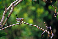 Native Hawaiian bird Elepaio,(chasiempis sandwichensis)