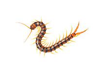 Scolopendra centipede, Scolopendra cingulatus, Huelva, Andalucia, Spain