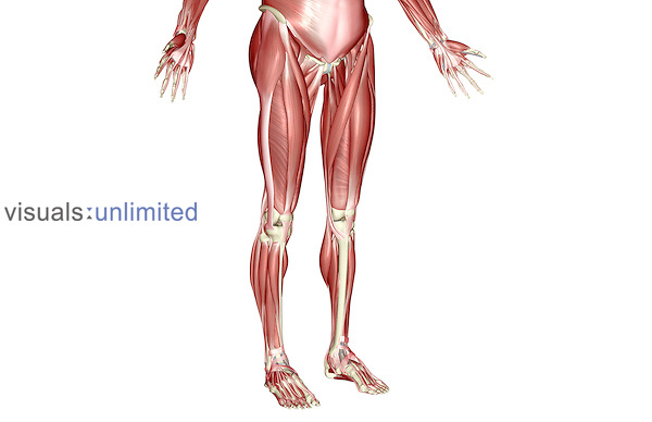 An anterolateral view (right side) of the muscles of the lower body. Royalty Free