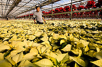 A worker waters Poinsettias at Metrolina Greenhouse in Charlotte, NC.
