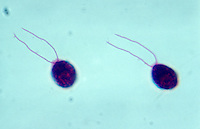 Green Algae (Chlamydomonas). LM X150