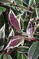 Leucothoe fontanesiana 'Whitewater' = HOWW variegated fall foliage