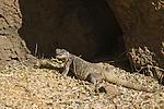 Chuckwalla, Sauromalus obesus. Arizona-Sonora Desert Museum, Tucson, Arizona