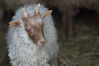 A sheep is seen in the Skansen open air ethnographic museum in Szenna (about 200 km South-West of capital city Budapest), Hungary on April 14, 2017. ATTILA VOLGYI
