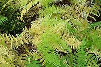 Dennstaediana punctiloba  Ferns in autumn fall foliage color Hay-scented fern Dennstaedtia punctilobula