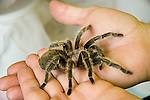 Pet tarantula spider<br />