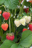 Strawberry 'Elsanta' berry fruits growing, showing stages of color ripening of berries from white to red, close up