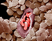Capillary cross-section with red blood cells or erythrocytes inside.  Capillaries are the small blood vessels that connect arteries and veins. Red blood cells carry oxygen throughout the body. SEM X5140  **On Page Credit Required**
