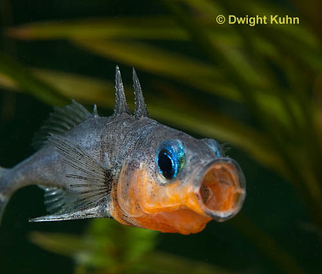 1S13-502z  Male Threespine Stickleback yawning behavior, Mating colors showing bright red belly and blue eyes,  Gasterosteus aculeatus,  Hotel Lake British Columbia