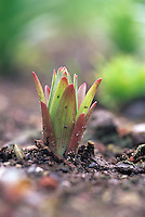 Lily bulb emerging from soil