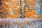 An unusually early snowfall comes to the Cascade's eastern slopes of Washington. Golden cottonwoods provide an interesting juxtaposition to the large dry snowflakes as the entire landscape suddenly resembles the enclosed glass environment of a Christmas snowball ornament.<br />