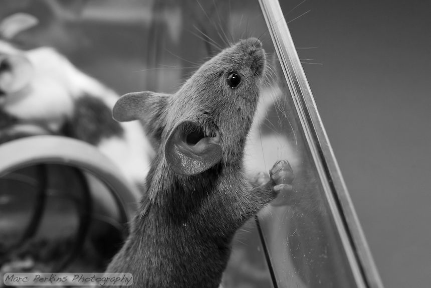 A gray male mouse rests a paw against the side of the cage and sniffs up to explore the edge of the cage.
