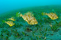 A school of strap weed or small-spotted filefish Manado, Sulawesi, Indonesia. Bunaken Marine Park and the nearby dive sites around Manado are a very popular dive destination, famous for beautiful coral reefs, marine biodiversity and vertical walls.