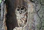 Barred owl in nesting cavity drying its feathers; these birds are fond of bathing.  Washington, USA
