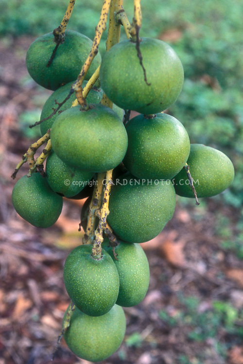 Mangifera indica var. manga blanca group of green unripe fruits in cluster on tree