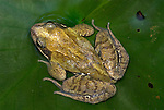 Common Frog, Rana temporaria, portrait, on leaf in pond in garden.United Kingdom....