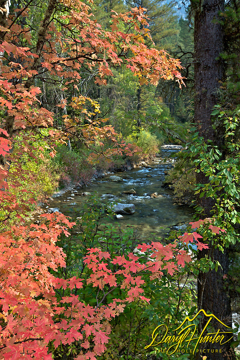 Mountain Maples of Autumn, Big Elk Creek, Swan Valley, Idaho