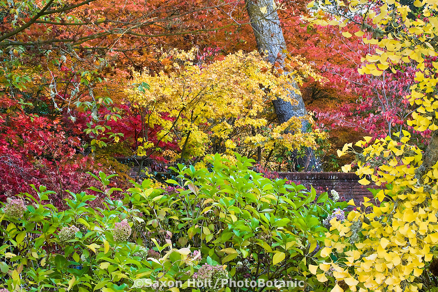 Autumn (fall) color tapestry in California Filoli garden, Hydrangea, Japanese maples, Yoshino Cherry (middle yellow), dogwood, Ginkgo