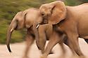 Namibia;  Namib Desert, Skeleton Coast,  desert elephants (Loxodonta africana) running across dry grass plain