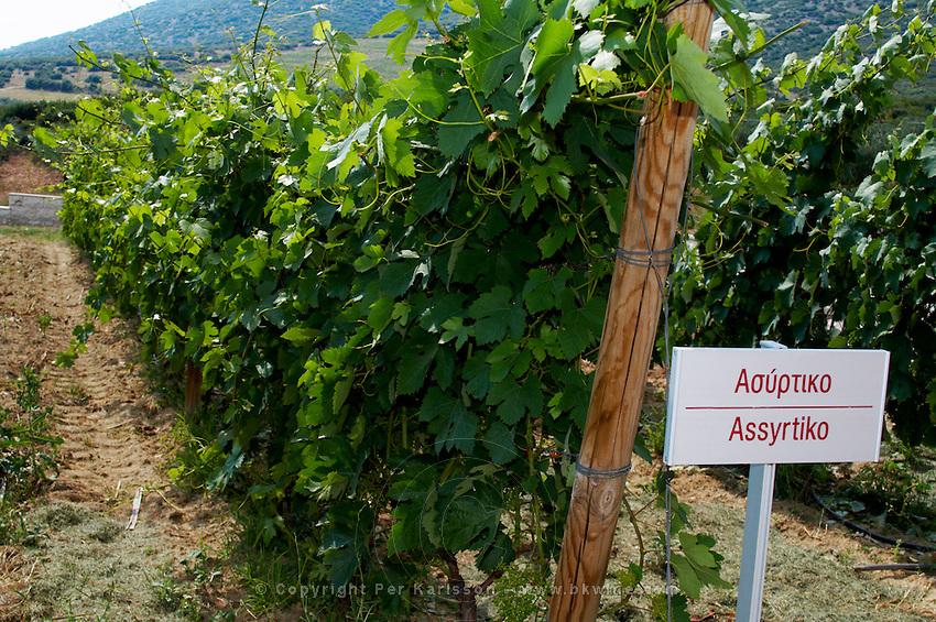 Vines. Assyrtiko vine variety. Biblia Chora Winery, Kokkinohori, Kavala, Macedonia, Greece