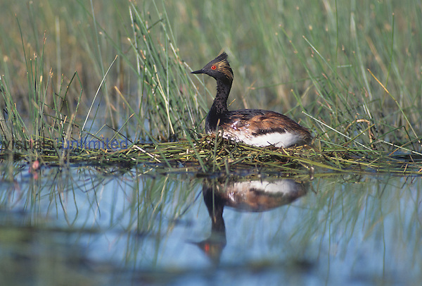 Eared Grebe ,Podiceps nigricollis, on its nest, North America.
