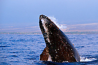 humpback whale, head-lunge, jaw clap, and chin slap in competitive group, Megaptera novaeangliae, Big Island, Hawaii, Pacific Ocean