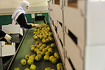 Druze women sort apples for export to Syria, at a packing house in the Druze village of Bukata, Golan Heights.<br /> Some 12,000 tones of apples, produced by Druze farmers in the Golan, were exported, with help from the Red Cross, to Syria, as Druze maintain their relation to their homeland.