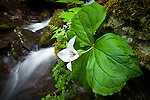 Sweet White Trillium (Trillium simile) and Cascade