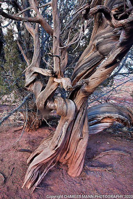 A weather juniper tree shows incredible character from the struggle to survive in the desert.