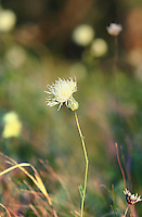 "Steppe flower in Russian National Park ""Samara Luka"""