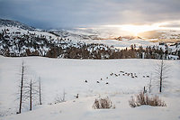 Elk herd on the Northern Range of Yellowstone at sunrise
