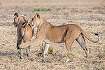 Central Africa , West African lion (Panthera leo senegalensis), also known as Senegal lion