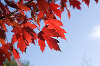 "Acer X Freemanii ""Autumn Blaze"""