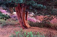 Trunks of Scots PIne, Pinus sylvestris, in Heather Garden, Spring, at Van Dusen Botanical Garden, Vancouver, BC