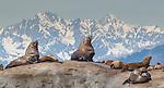USA, Alaska , Glacier Bay National Park , Steller sea lion (Eumetopias jubatus)