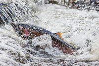 Wild Coho or Silver Salmon (Oncorhynchus kisutch) on fall spawning migration, swimming up shallow river.  Pacific Northwest.  October.  Wild fish not hatchery fish.
