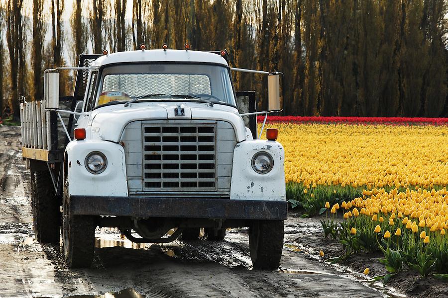 Farm truck in tulip field, Mount Vernon, Skagit Valley, Skagit County, Washington, USA