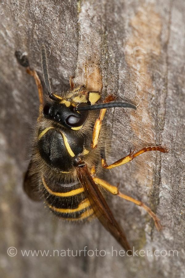 Sächsische Wespe, Königin sammelt Holz für ihren Nestbau, raspelt Holzfasern mit ihren Mandibeln ab, Kleine Hornisse, Dolichovespula saxonica, Vespula saxonica, Saxon wasp, Faltenwespen, Papierwespe, Papierwesen, Vespidae