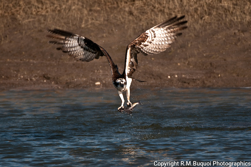 Osprey with Two Catfish