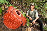 A local guide offers scale for a fresh bloom of Rafflesia arnoldii -- the world's largest single flower. Growing slowly from cabbage-like buds, Rafflesia put on a show for only a few days. Endemic to the dwindling forests of the Bengkulu province of West Sumatra, sightings are becoming increasingly rare.