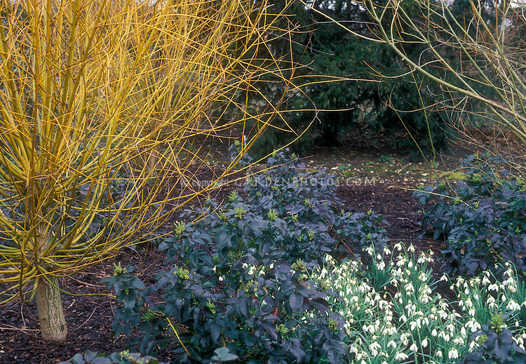 Salix alba 'Vitellina', Mahonia 'Apollo' & Galanthus 'Galatea' (snowdrops) in winter garden, colored stems, flowers, foliage