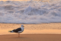 A seagull standing at the edge of the surf at sunrise on an Outer Banks beach.