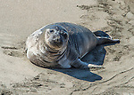 A young elephant seal lies on the beach at the Piedras Blancas elephant seal rookery on Highway 1 in Big Sur