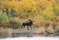 Bull Moose, Brooks river, Katmai National Park, Alaska