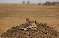 A solitarie Cheetah, rests in the top of a termite nest, checking for pray in the plains of the Maasai Mara. (PHOTO: MIGUEL JUAREZ LUGO)